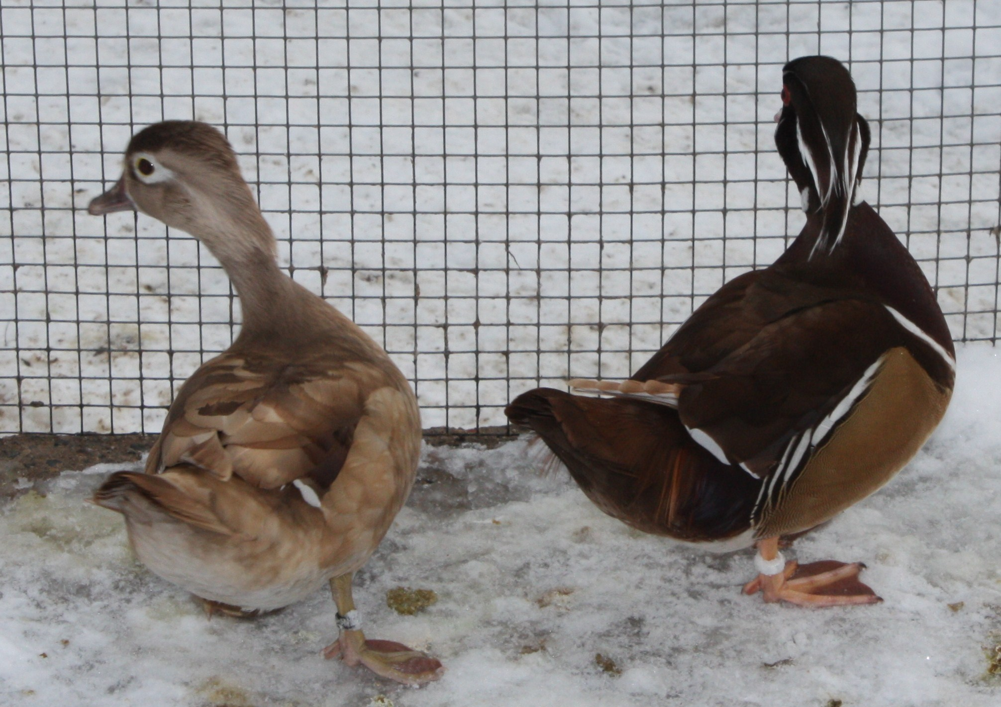 Canard Carolin blond PROMO le couple