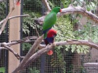 Eclectus (roratus) couple