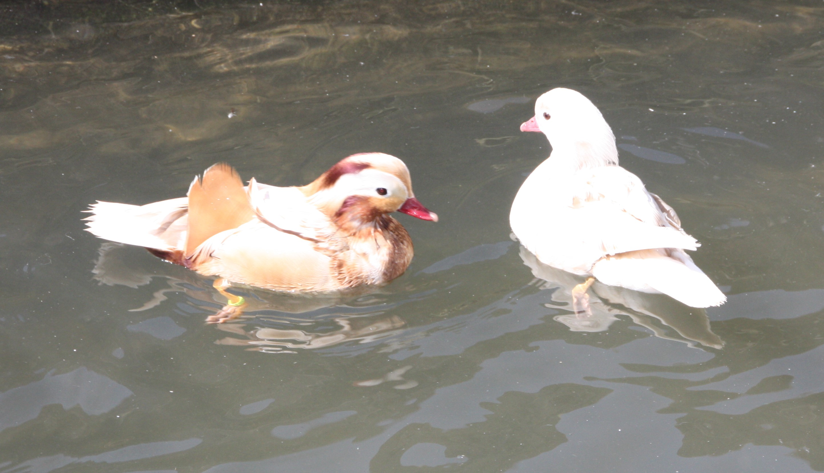 Canard Mandarin blond (mutation)